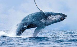 Bitcoin Whale Meningkat Saat Keuntungan yang Belum Direalisasi Mencapai Tertinggi Tahunan